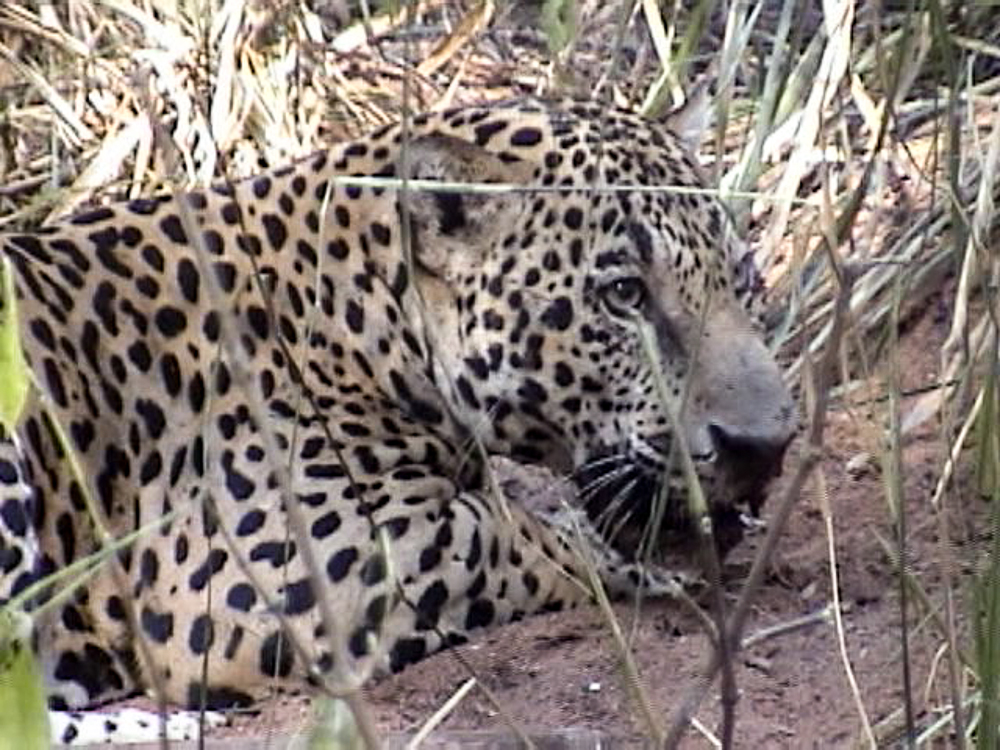 a study of endangered species of jaguars People's trust for endangered species was set up in 1977 to here we are undertaking the first comprehensive study of jaguars in paraguay, together with.